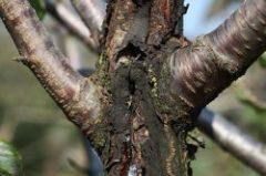 раковые болезни деревьев