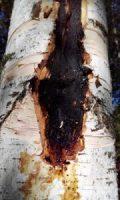 бактериальные болезни деревьев
