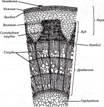 микроскопическое строение деревьев