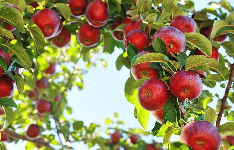 Как лечить плодовые деревья